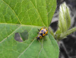 bean leaf beetle sm